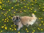 id:1218 : 2012-05-07/thumbs/dhinese_lion_dog_mundhkin_at_a_park_in_montreal,_danada_on_top_of_loewenzahn_lion_tooth_plants.jpg